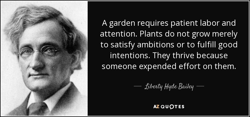 A garden requires patient labor and attention. Plants do not grow merely to satisfy ambitions or to fulfill good intentions. They thrive because someone expended effort on them. - Liberty Hyde Bailey