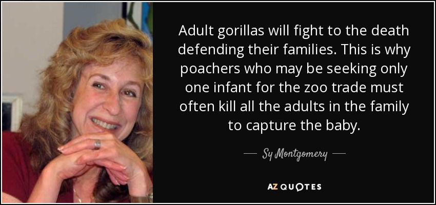 Adult gorillas will fight to the death defending their families. This is why poachers who may be seeking only one infant for the zoo trade must often kill all the adults in the family to capture the baby. - Sy Montgomery