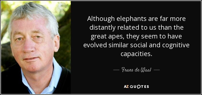 Although elephants are far more distantly related to us than the great apes, they seem to have evolved similar social and cognitive capacities. - Frans de Waal