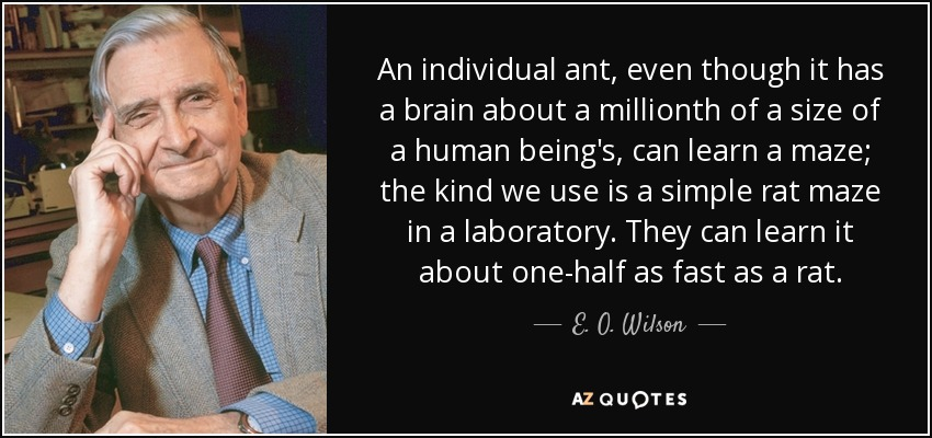 An individual ant, even though it has a brain about a millionth of a size of a human being's, can learn a maze; the kind we use is a simple rat maze in a laboratory. They can learn it about one-half as fast as a rat. - E. O. Wilson
