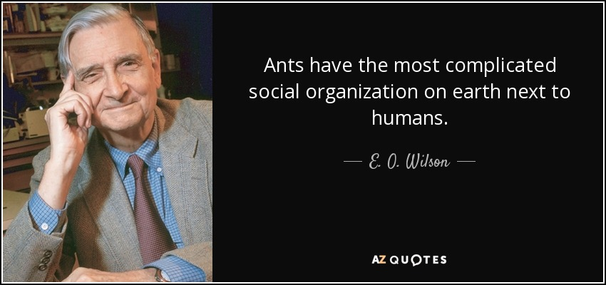 Ants have the most complicated social organization on earth next to humans. - E. O. Wilson