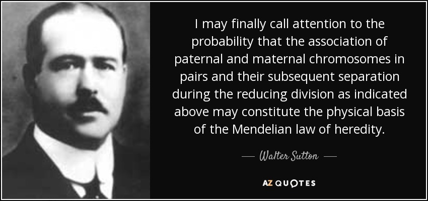 I may finally call attention to the probability that the association of paternal and maternal chromosomes in pairs and their subsequent separation during the reducing division as indicated above may constitute the physical basis of the Mendelian law of heredity. - Walter Sutton