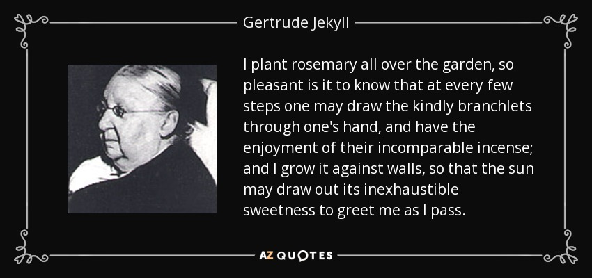 I plant rosemary all over the garden, so pleasant is it to know that at every few steps one may draw the kindly branchlets through one's hand, and have the enjoyment of their incomparable incense; and I grow it against walls, so that the sun may draw out its inexhaustible sweetness to greet me as I pass. - Gertrude Jekyll