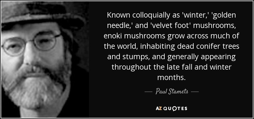 Known colloquially as 'winter,' 'golden needle,' and 'velvet foot' mushrooms, enoki mushrooms grow across much of the world, inhabiting dead conifer trees and stumps, and generally appearing throughout the late fall and winter months. - Paul Stamets