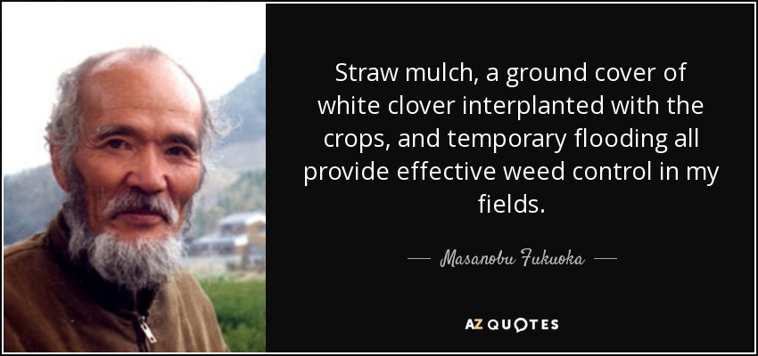 Straw mulch, a ground cover of white clover interplanted with the crops, and temporary flooding all provide effective weed control in my fields. - Masanobu Fukuoka
