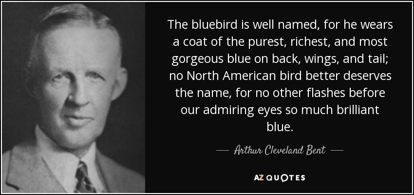 The bluebird is well named, for he wears a coat of the purest, richest, and most gorgeous blue on back, wings, and tail; no North American bird better deserves the name, for no other flashes before our admiring eyes so much brilliant blue. - Arthur Cleveland Bent