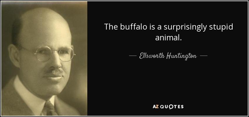 The buffalo is a surprisingly stupid animal. - Ellsworth Huntington