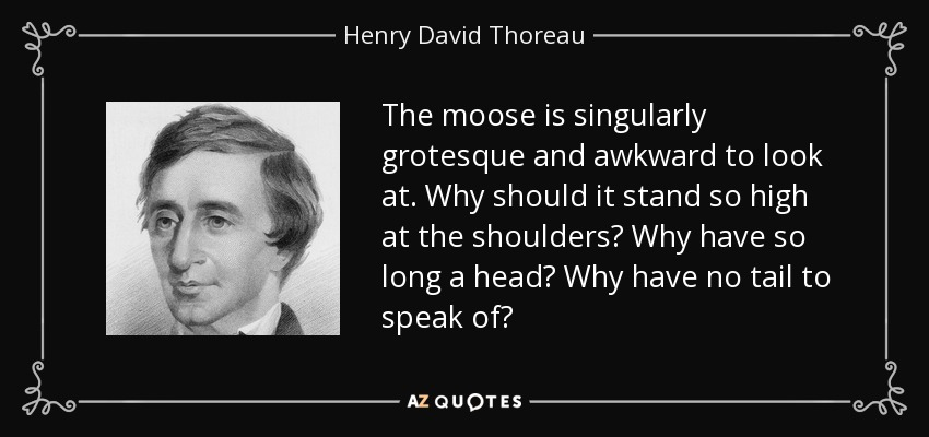The moose is singularly grotesque and awkward to look at. Why should it stand so high at the shoulders? Why have so long a head? Why have no tail to speak of? - Henry David Thoreau