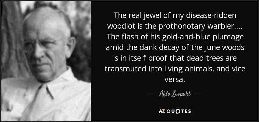 The real jewel of my disease-ridden woodlot is the prothonotary warbler. ... The flash of his gold-and-blue plumage amid the dank decay of the June woods is in itself proof that dead trees are transmuted into living animals, and vice versa. - Aldo Leopold