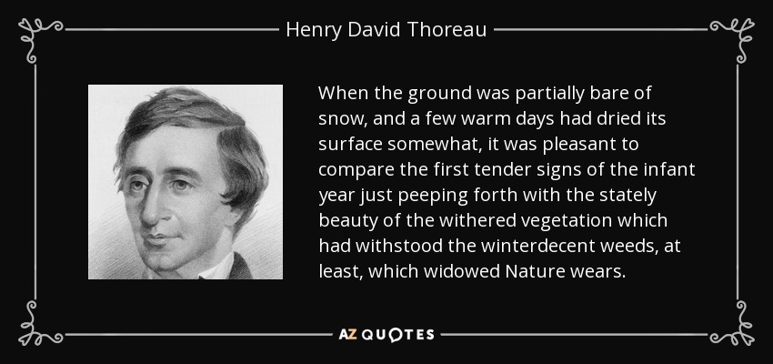 When the ground was partially bare of snow, and a few warm days had dried its surface somewhat, it was pleasant to compare the first tender signs of the infant year just peeping forth with the stately beauty of the withered vegetation which had withstood the winterdecent weeds, at least, which widowed Nature wears. - Henry David Thoreau